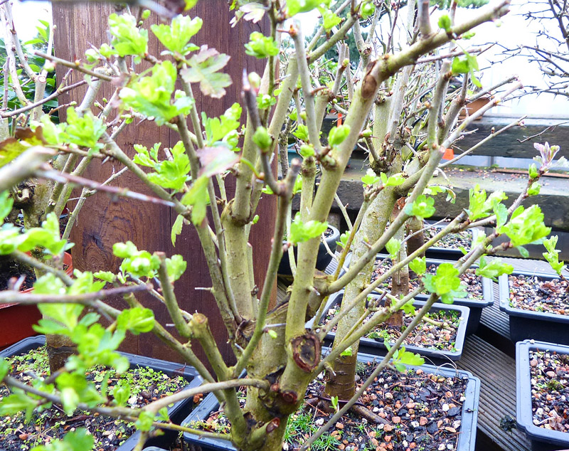 hawthorn ready to re-pot