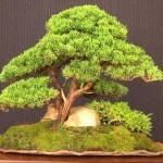Juniperus chinensis Blaauw Image 5