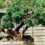 Eric's Juniper Juniperus Spp Image 1