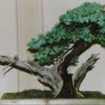 Eric's Juniper Juniperus Spp Image 3