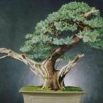 Eric's Juniper Juniperus Spp Image 4