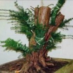 Wideboy Taxus Baccata Image 3