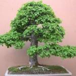 english elm
