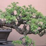 Hawthorn-cretagus monogyna