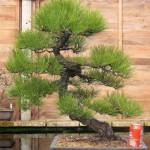 Japanese black pine