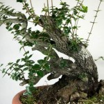 Phillerea augustifolia