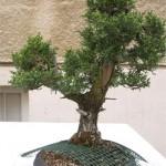 Cupresses sempervirens Italian cypress