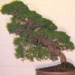 Chinese juniper