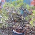 Italian black pine
