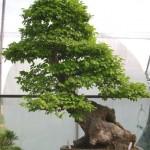 Ulmus parviflora
