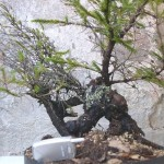 Tiny little shohin spruce