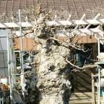 Japanese trident maple