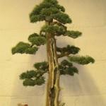 Juniperus Chinensis blauwws