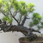 Pinus uncinata - Mugo pine