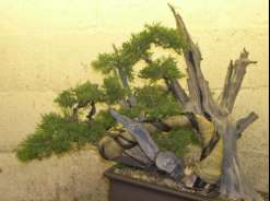 In the Workshop Old Gold Juniper Image 3