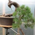 Pinus sylvestris - Scots pine