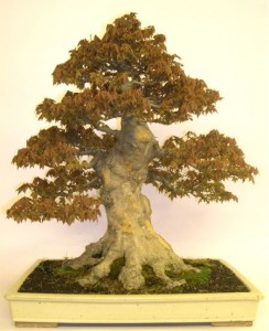 Japanese Trident Maple Image 1