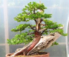 In the Workshop Japanese Yew image 2