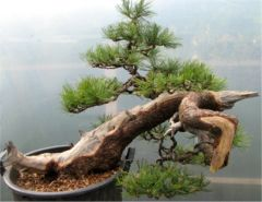 In the Workshop Swiss Mountain Pine (pinus cembra) Image 2