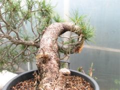 In the workshop Swiss Mountain Pine (pinus cembra) Image 1