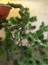 In the Workshop Cascade Mugo Pine Image 1