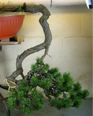 In the Workshop Cascade Mugo Pine Image 2