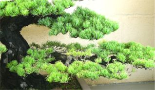In the Workshop A Classic Bonsai Image 2