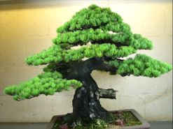 In the Workshop A Classic Bonsai Image 4