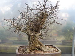 In the Workshop Hawthorn Bonsai Image 1