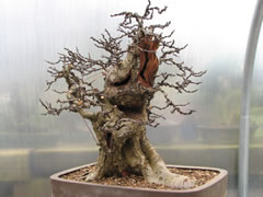 In the Workshop Hawthorn Bonsai Image 2