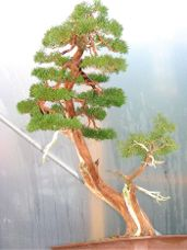 In the Workshop Japanese juniper Image 2