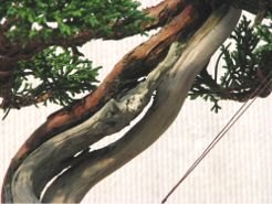 In the Workshop An Interesting Little Juniper Image 3