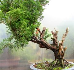 In the Workshop Juniper from Japan Image 1