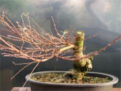 In the Workshop Japanese Larch Image 1