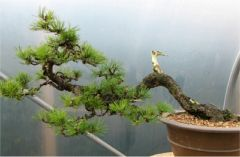 In the Workshop Mugo Pine Image 2