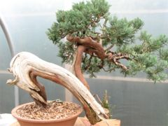 In the Workshop An old Yamadori Juniper Image 1