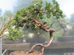 In the Workshop Yamadori sabina juniper Image 1