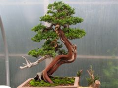 In the Workshop Yamadori Sabina Juniper Image 3