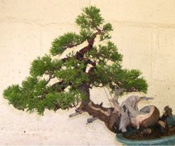In the Workshop A Taiwanese shimpaku juniper Image 3