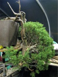 In the Workshop Yamadori Juniper Image 2