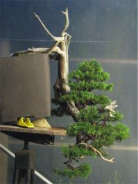 In the Workshop Yamadori Juniper Image 3