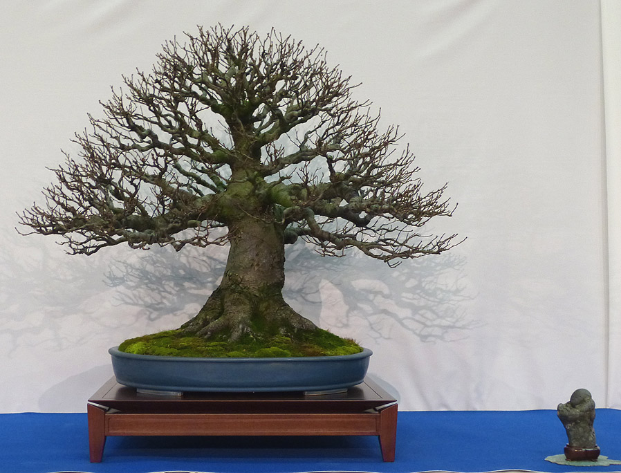 My own personal favourite. Alnus (alder). 25 years of dedication to bonsai. remarkable!