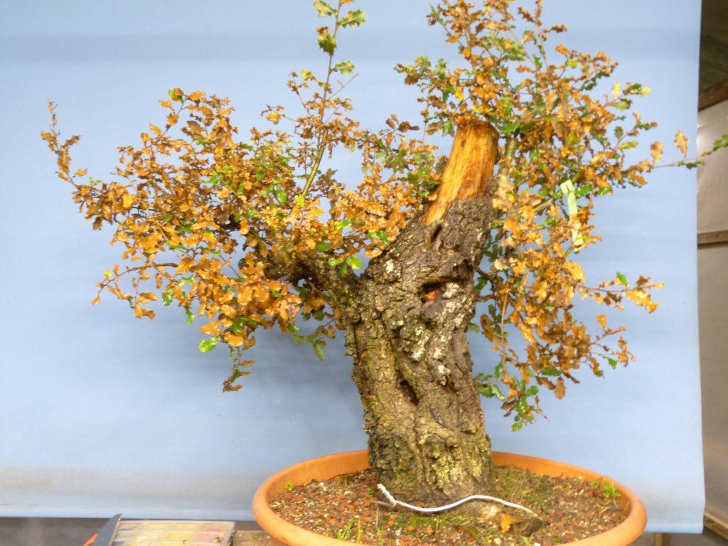Oak Week At Kaizen Bonsai Kaizen Bonsai Blog