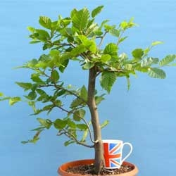 Bonsai Starter Trees