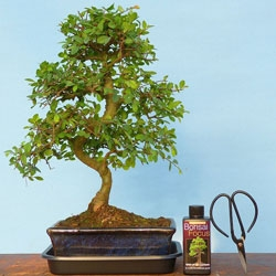 Bonsai Trees for Sale, Indoor and Outdoor Bonsai, Starter Trees ...