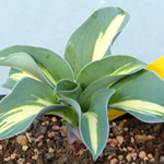 Dwarf Hostas & Accent Plants