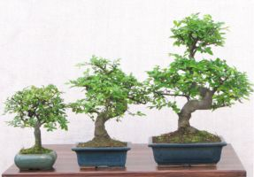 our most popular bonsai trees
