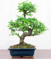 corporate gift idea Chinese Grey Bark Elm