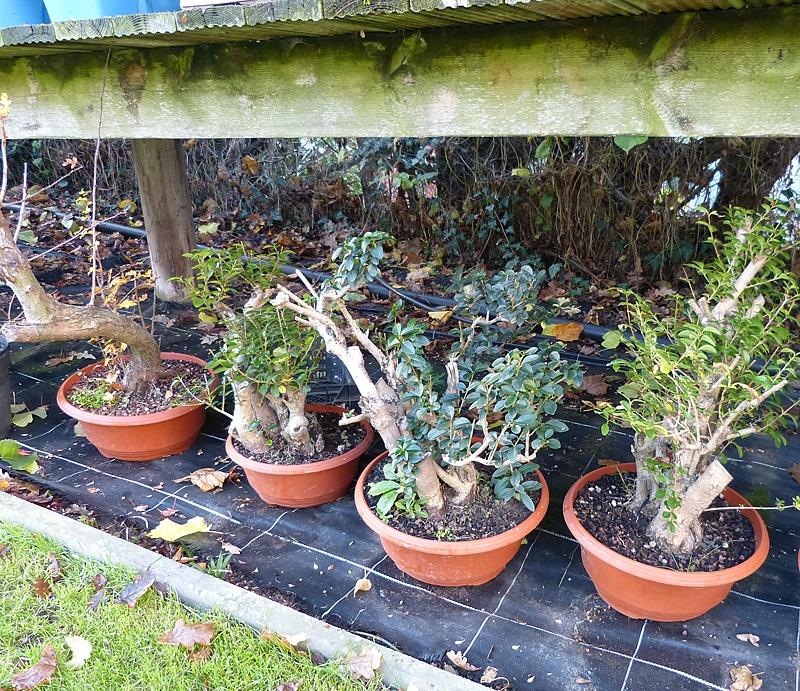Overhead cover for bonsai in winter
