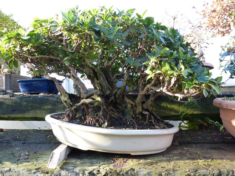 Tilt shallow bonsai pots to aid drainage